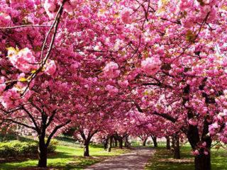 Тур на два дні: «Цвітіння сакури, термали і чани Закарпаття»